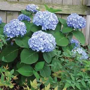 (14.3-Qt) Hydrangea Pot - Southwestern Gardening