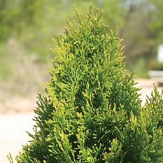 (24-Qt) Arborvitae Pot - Southwestern Gardening