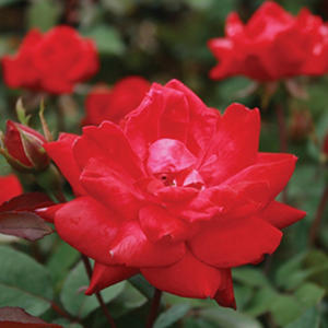 (10-Qt) Rose Shrub Pot - Northeast Gardening