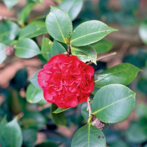 (10-Qt) Camellia Pot - Northeast Gardening