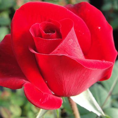 Sexton Olympiad Rose - 2 pk.