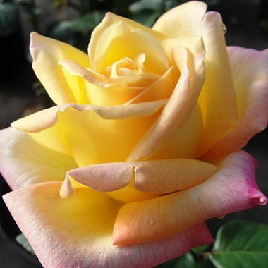 Sexton Garden Party Rose - Hybrid Tea Rose - 2 pk.