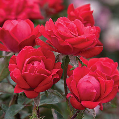 Double Red Knock Out Rose Bush
