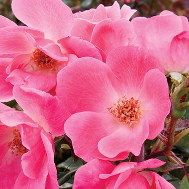Pink Knock Out Rose Bush
