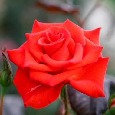 Powerhouse My Bouquet Hybrid Tea Rose Bush