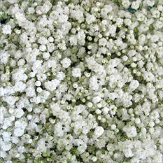 Premium Gypsphila (Baby's Breath)