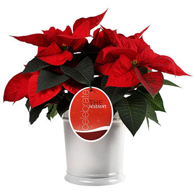Potted Poinsettia in Ceramic