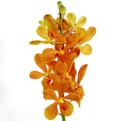 Orchid -Mokara- Orange - 60 Stems