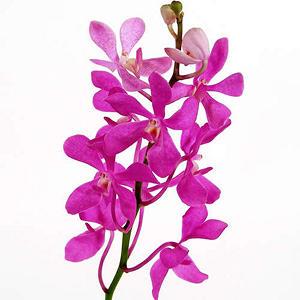 Orchid - Mokara Pink - 60 Stems