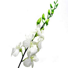Orchid - Dendrobium White - 70 Stems