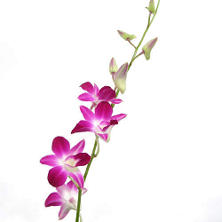 Orchid - Dendrobium Bicolor Purple & White - 70 Stems