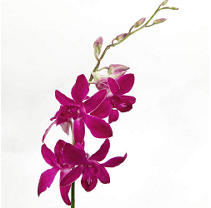 Orchid - Dendrobium Purple - 70 Stems