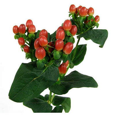 Hypericum - Red - 100 Stems