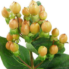 Hypericum - Peach - 100 Stems