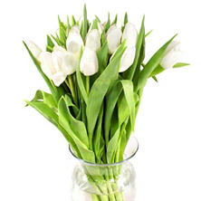 Tulips, White (100 stems)