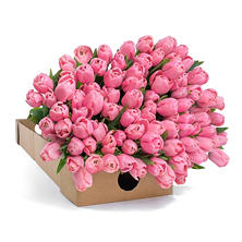 Tulips - Pink - 100 Stems
