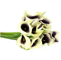 Mini Calla Lilies - Bicolor - 150 Stems