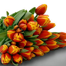Tulips, Bi-Color (100 stems)