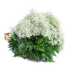 Gypsopilila & Leatherleaf - 10 Bunches