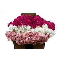 Mini Carnations  - Mother's Day - Assorted - 150 Stems
