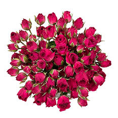 Spray Roses - Hot Pink - 100 Stems