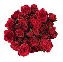 Spray Roses - Red - 100 Stems
