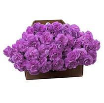 Carnations are known world-wide for their excellent quality and longevity. Perfect for your wedding, event, resale or individual needs. Please have someone available to receive and process the flowers on the delivery date. For further information regarding care and handling please see our Flower Care Guide. Floral Tips & Ideas Explore our easy tips for arranging just-shipped flowers into stunning bouquets, plus get pointers for keeping your blooms looking beautiful longer. Flower Arranging Tips & Ideas 6 Ways to Make Flowers Last