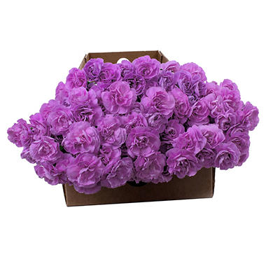 """Florigene"" Moonpearl Mini Carnations - 200 Stems"