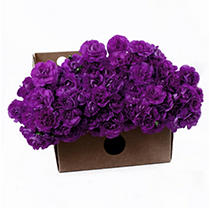 """Florigene"" Moonberry Mini Carnations - 200 Stems"