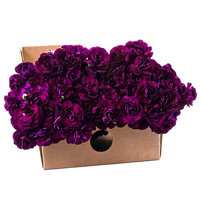 """Florigene"" Moonvelvet Mini Carnations - 200 Stems"