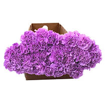 """Florigene"" Moonaqua Carnations - 140 Stems"