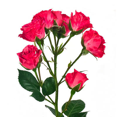 Spray Roses - Pink Flash - 100 Stems