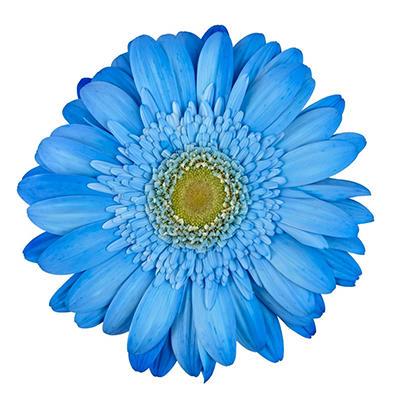 Gerbera Daisies - Tinted - Blue - 80 Stems