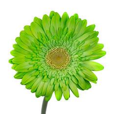 Gerbera Daisies - Tinted - Green - 80 Stems