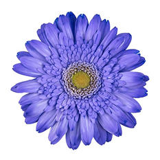 Gerbera Daisies - Tinted - Purple - 80 Stems