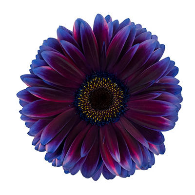 Gerbera Daises - Tinted - Blue & Purple - 80 Stems