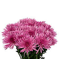 Spider Mums - Purple - 90 Stems