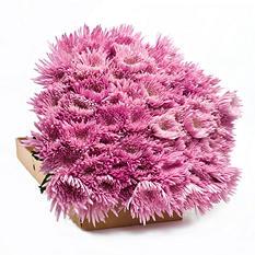 Spider Mums - Pink - 90 Stems
