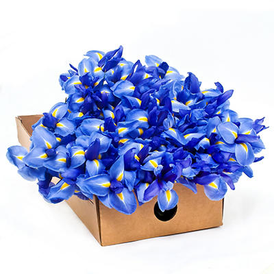 Iris - Blue - 100 Stems