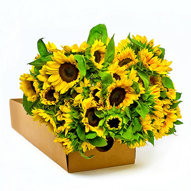 Sunflowers - Bi Color - Mahogony - 80 Stems