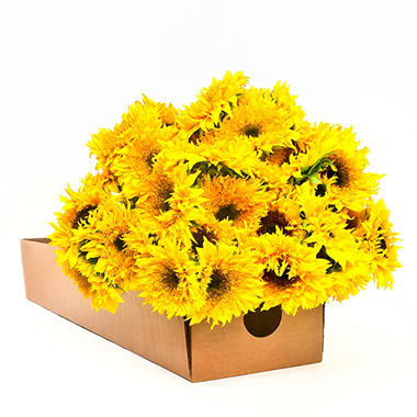 Sunflowers - Sunsplash - 80 Stems