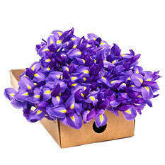 Iris - Purple - 100 Stems