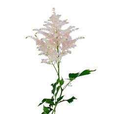 Astilbe Flowers, Light Pink (100 stems)