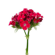 Dianthus Flowers, Red (100 stems)