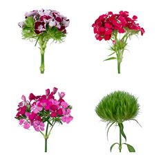 Dianthus Flowers, Assorted Colors (100 stems)