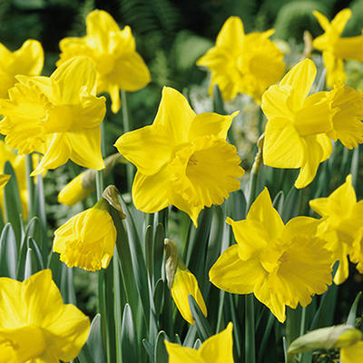 King Alfred Daffodil - 50 dormant bulbs