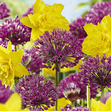 Daffodil - Golden Ducat / Allium Purple Sensation - 40 Bulbs