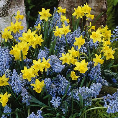 Daffodil - Tete A Tete / Muscari Armeniacum - 75 Bulbs