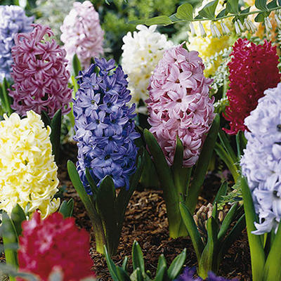 Hyacinth Mix - 30 Bulbs