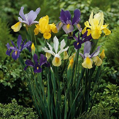 Dutch Iris - 100 Mixed Bulbs